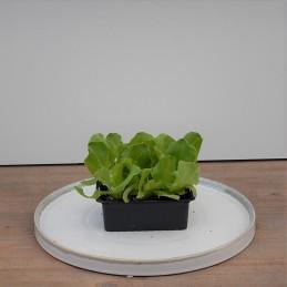Kopfsalat grün, 6 Stk
