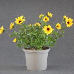 Sonnenblume SUNbelivable im...
