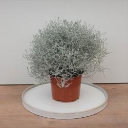 Stacheldrahtpflanze im 14cm...
